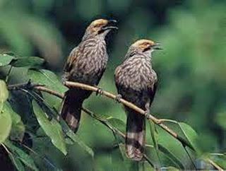 Habitat Burung Cucak Rowo Yang Sudah Langgka Dan Kicaunya Yang Merdu