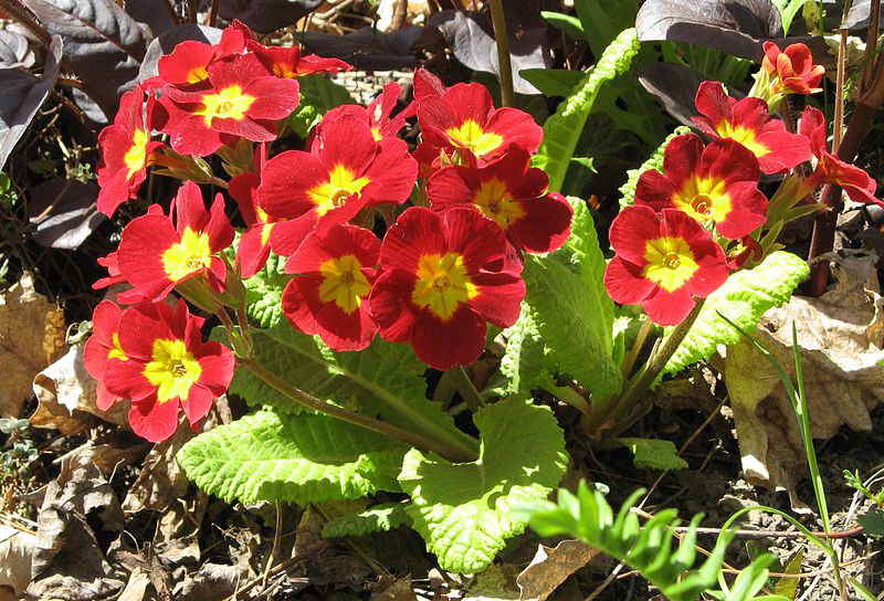 P Auricula Available In Many Colors With A Contrasting Center The Leaves Are Evergreen This Variety Was Very Por During Victorian Era