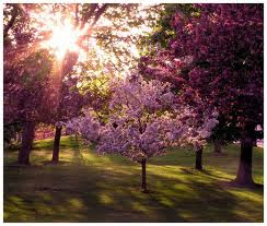 Lilac Tree Flowers Wallpaper