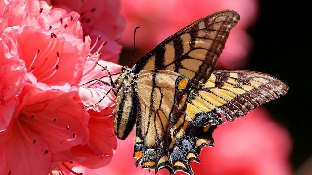 Fondo de Pantalla Mariposa en una Rosa