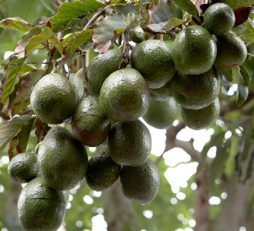 avocado food industry news