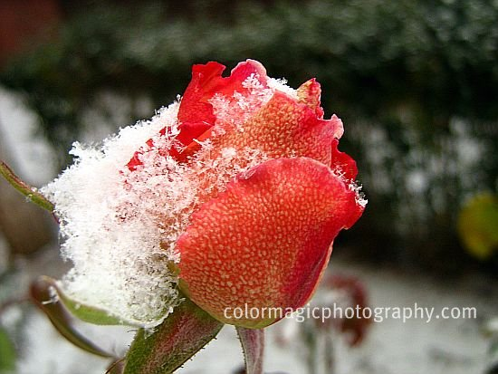 snow on red rose-macro