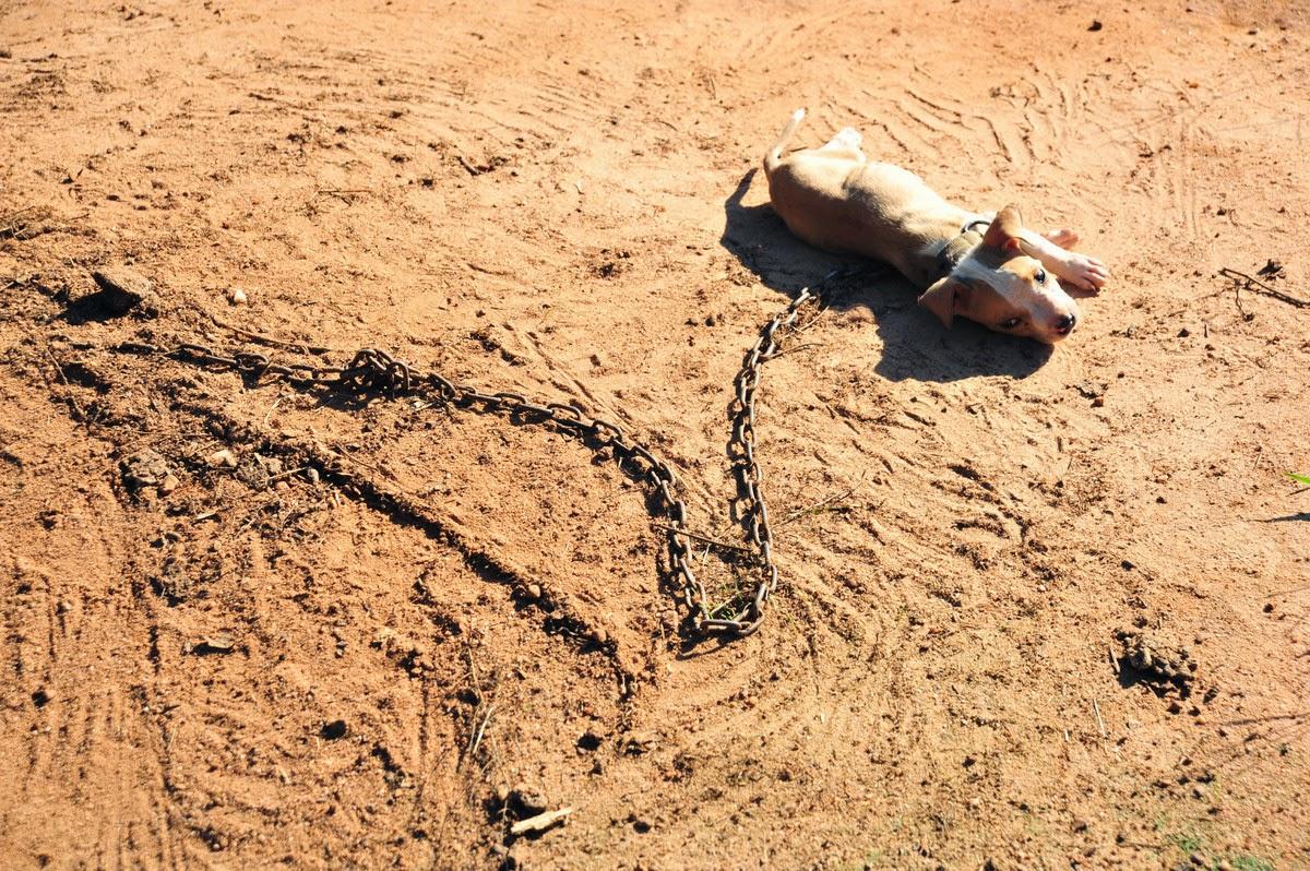 timmy pitbull cachorro abandonado