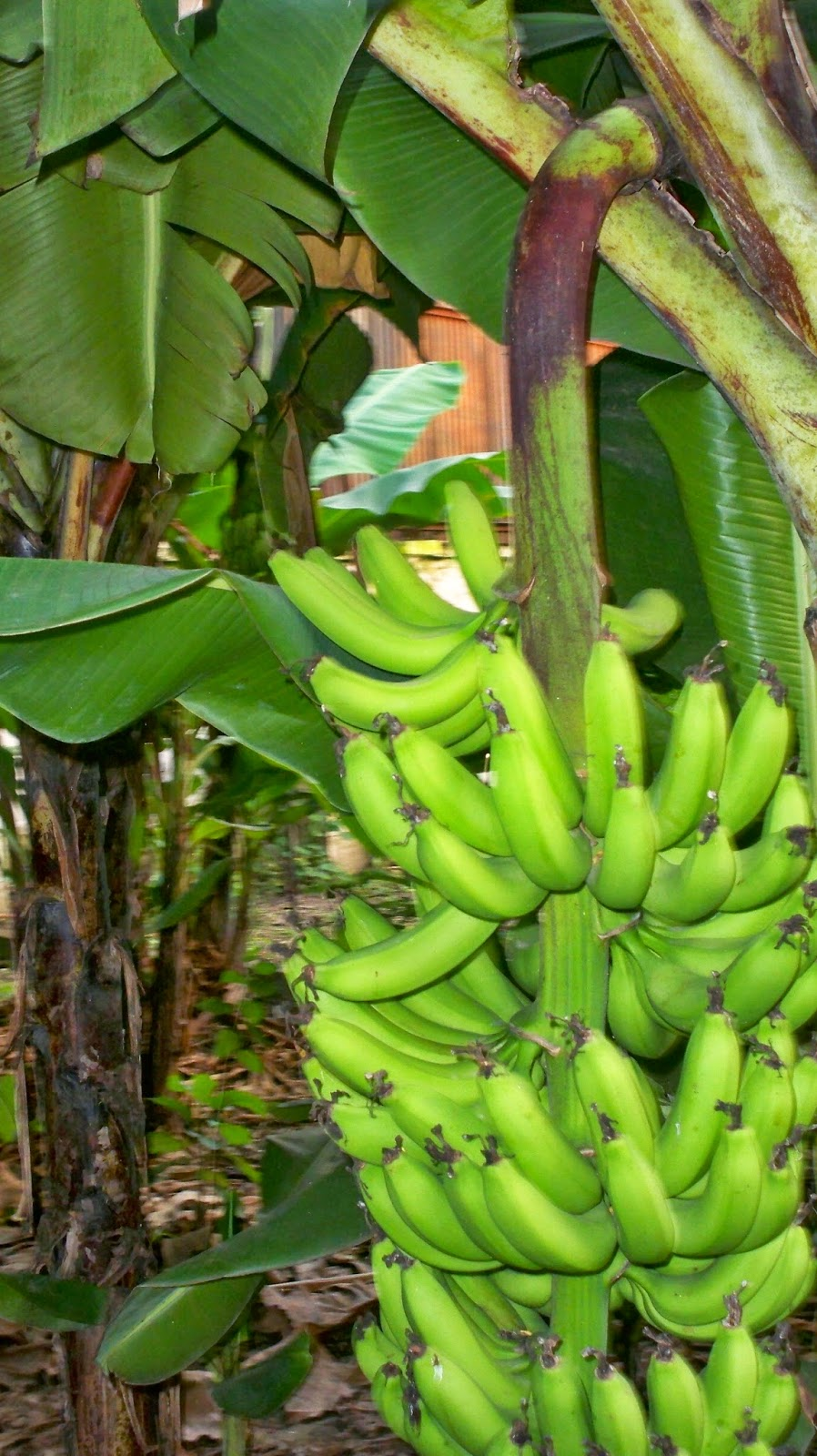 Banana trees growing and bearing fruits at Mulvany House, Kolkata.