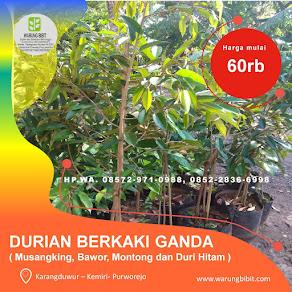 Bibit Durian Berkaki Ganda