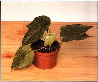 Как только сформируются корни — а при использовании теплицы на это уходит около месяца, — удалите резинки и дайте растению больше места