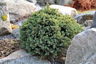 Picea glauca 'Echiniformis' Igelkottsgran