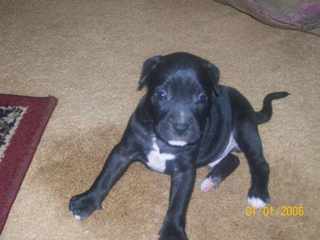 Cute Puppy Dogs: black and white pitbull puppies