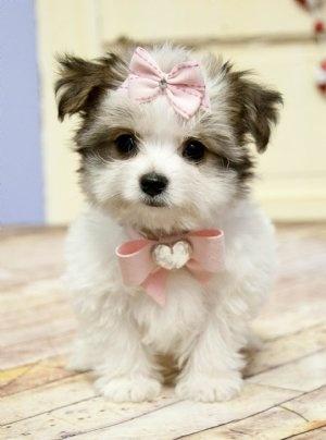 Club Tropicana: Morkie Puppies