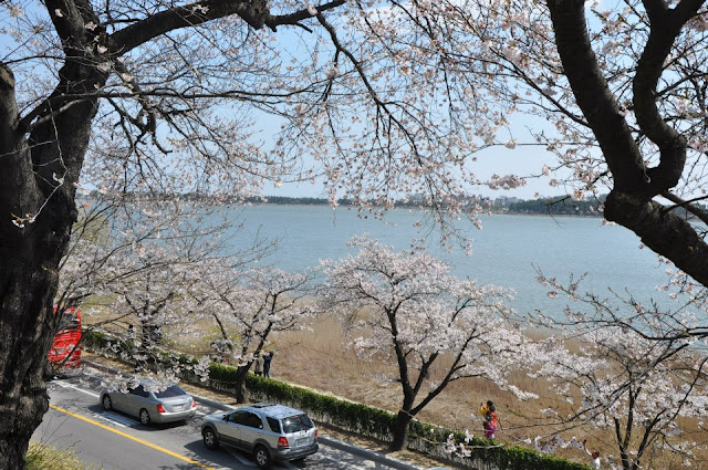 View from the top - White Cherry Blossoms