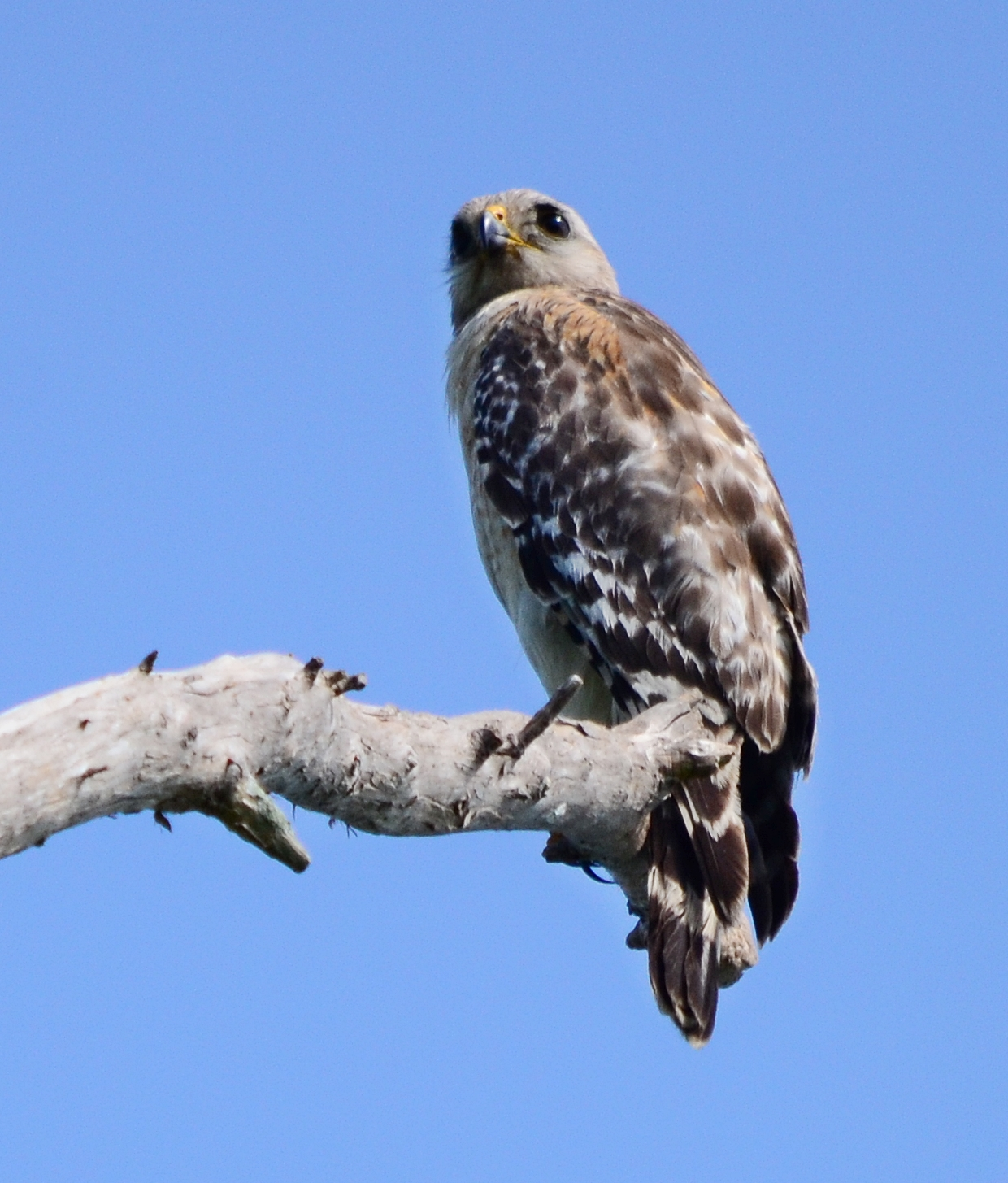 Baby hawk bird - photo#12