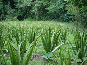 ALOE VERA CULTIVATION