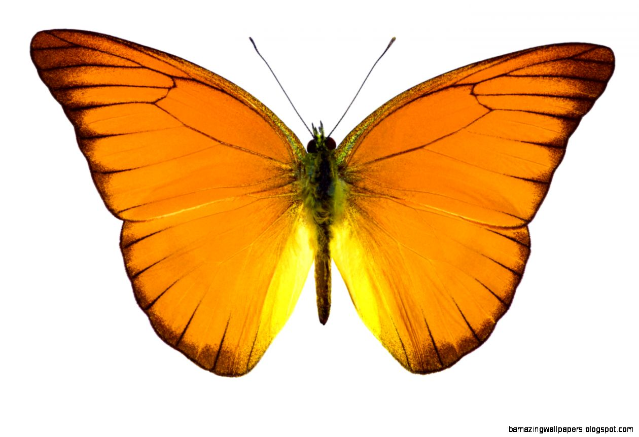 Orange butterfly Wallpapers   HD Tiger  hd wallpapers  mobile