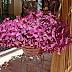 Oxalis Triangularis Plant
