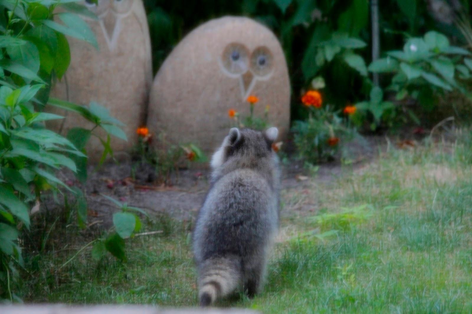 rob and the animals backyard raccoons