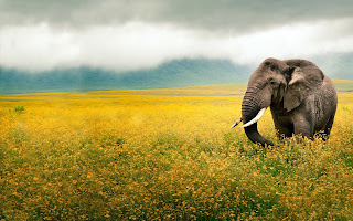 Elephant Tusk Wallpapers