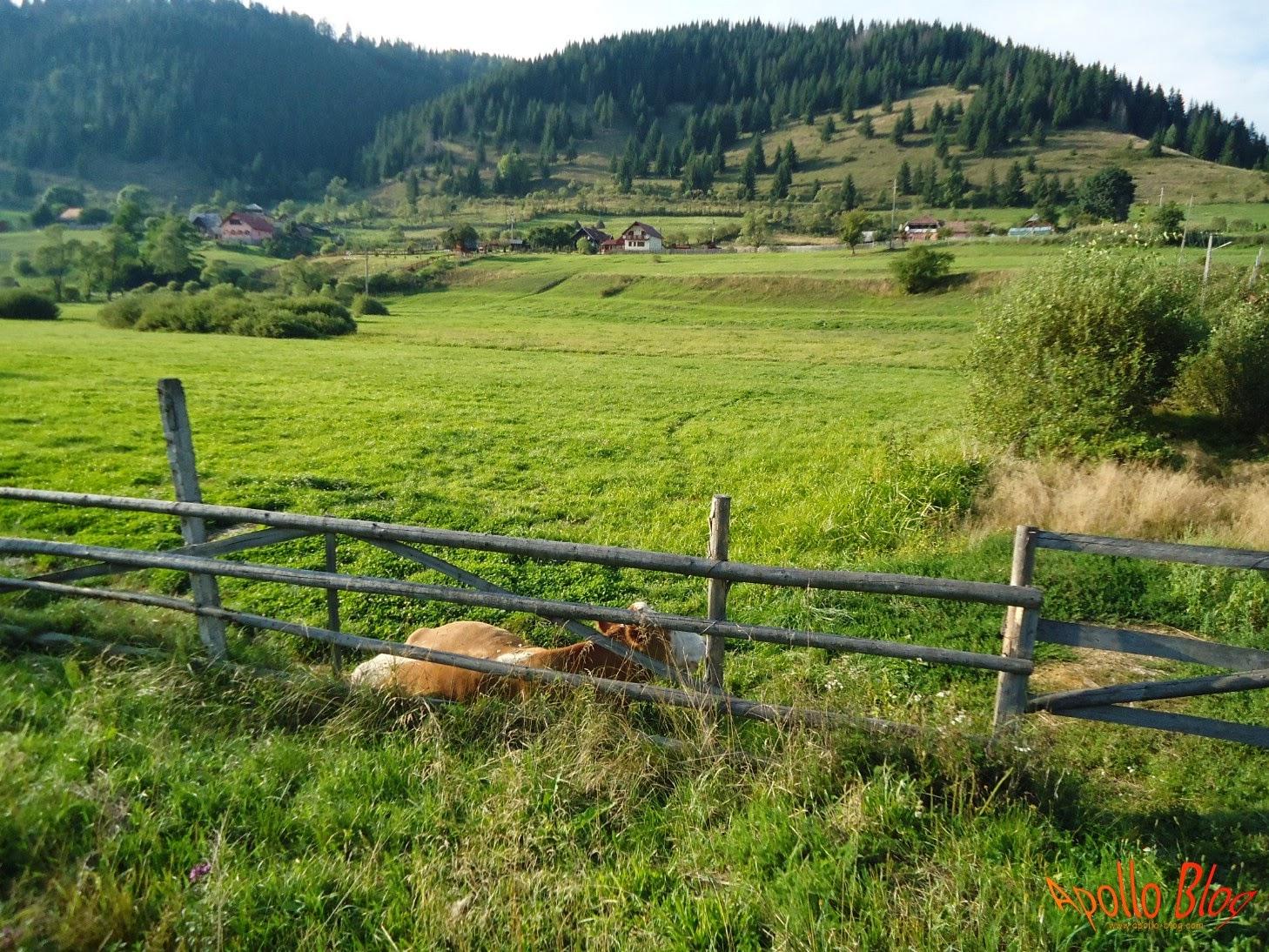 Vaca Ciobotani