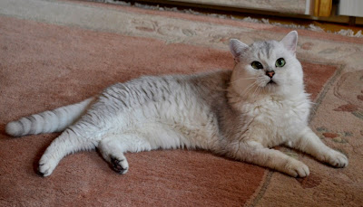 Silver tipped british shorthair