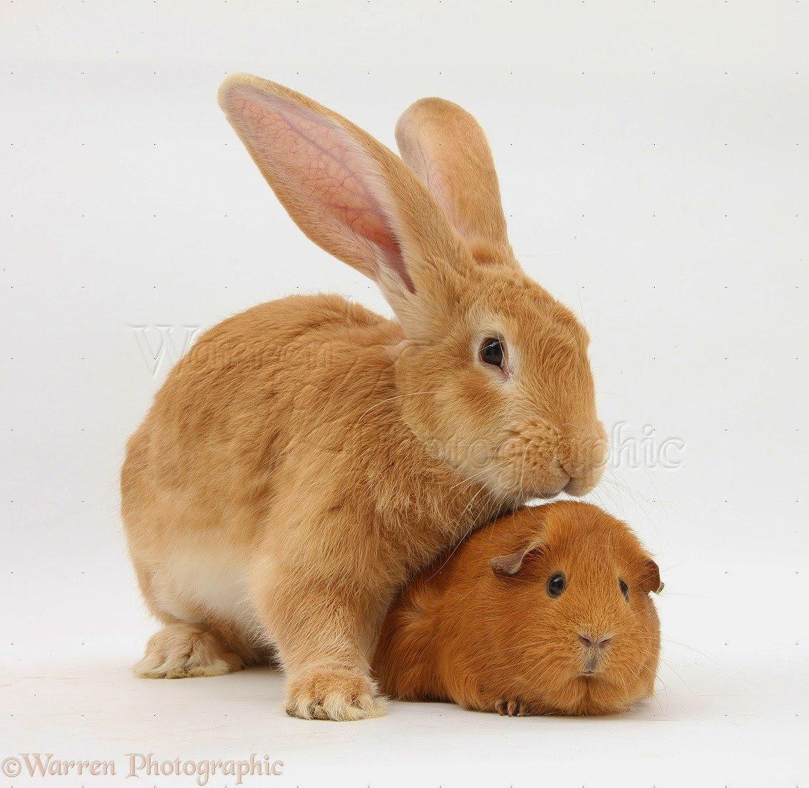 the bunny hut why rabbits and guinea pigs should not be companions