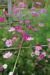 Hot summer colour, cosmos is a must.