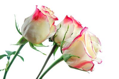 Rosas matizadas blancas con pétalos rosa