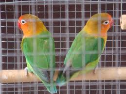 jenis kelamin lovebird