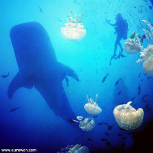 Medusas en acuario bajo ballena y buceador