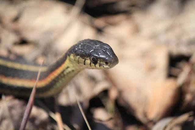 serpiente de jarretera de flancos rojos - pozos Snake Narcisse en Manitoba, Canadá