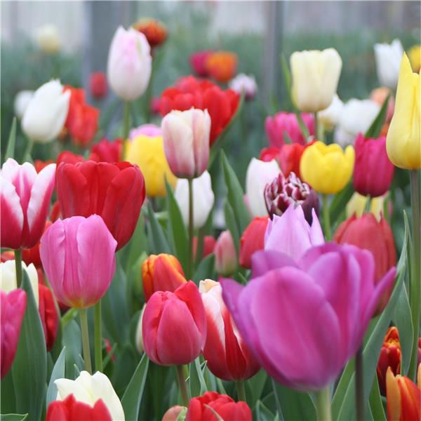 quand et comment planter les bulbes floraison printani re les carnets de georges delbard. Black Bedroom Furniture Sets. Home Design Ideas