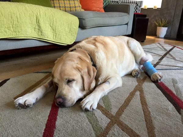 Labrador Cooper after leg surgery