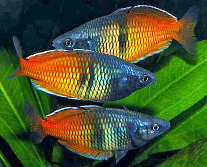 Rainbow fish melanotaeniidae tropical fish for The rainbow fish