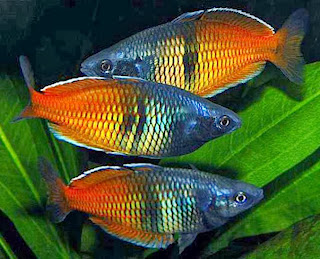 rainbow fish 4