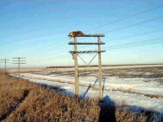 Rusa Kutub Tersangkut di Tiang Telpon