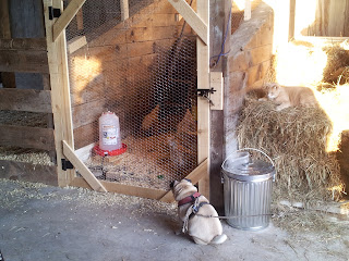In the barn, Cody and Bo watching the hens