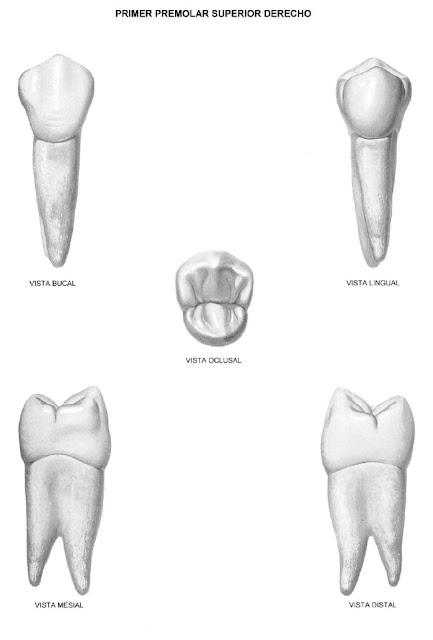 biomateriales: premolares superiores