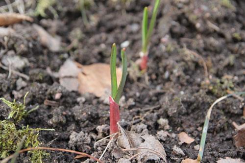 Valkosipuli kasvaa aikaisin keväällä