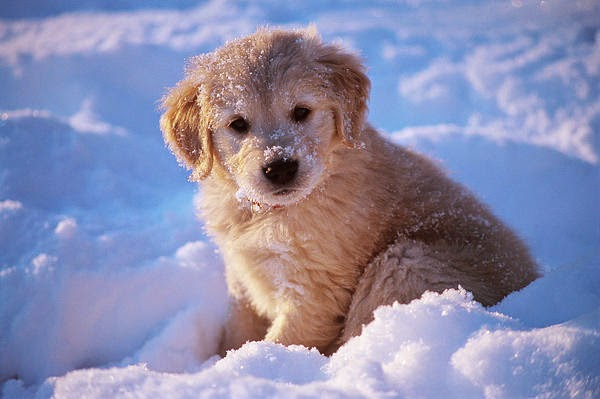 Cute Baby Golden Retriever puppy in Snow