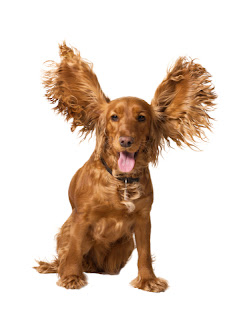 Cocker Spaniel with flying ears