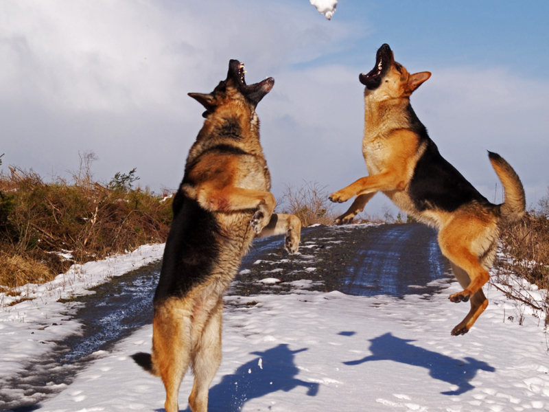 German Shepherds in the air with jaws open trying to catch a snowball.