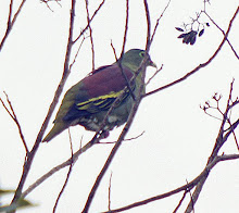 Thick-billed Green-Pigeon_2011