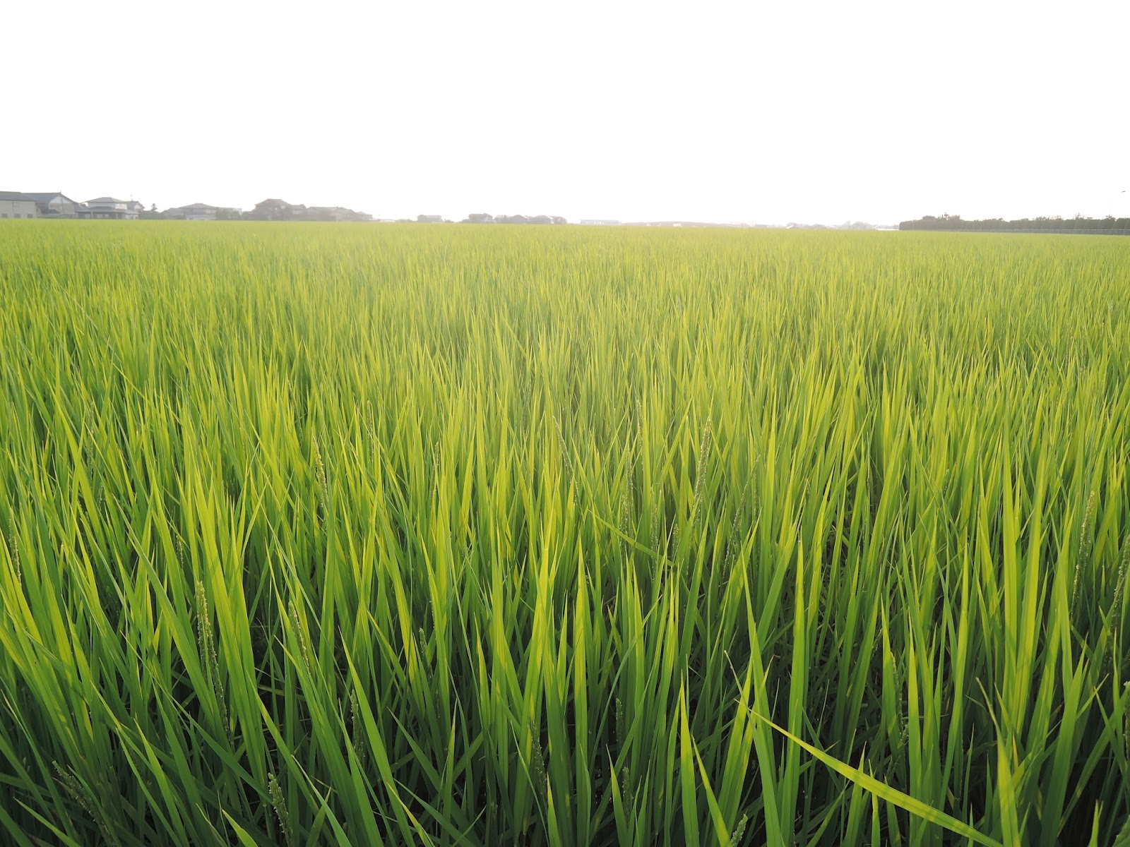 米農家寺崎の毎日: コシヒカリ~出穂期