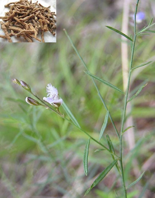 Polygala tenuifolia Willd. (Fam. Polygalaceae)