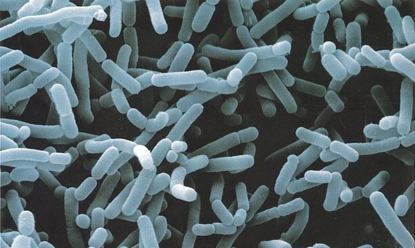 ¿Qué son las bacterias ácido lácticas?