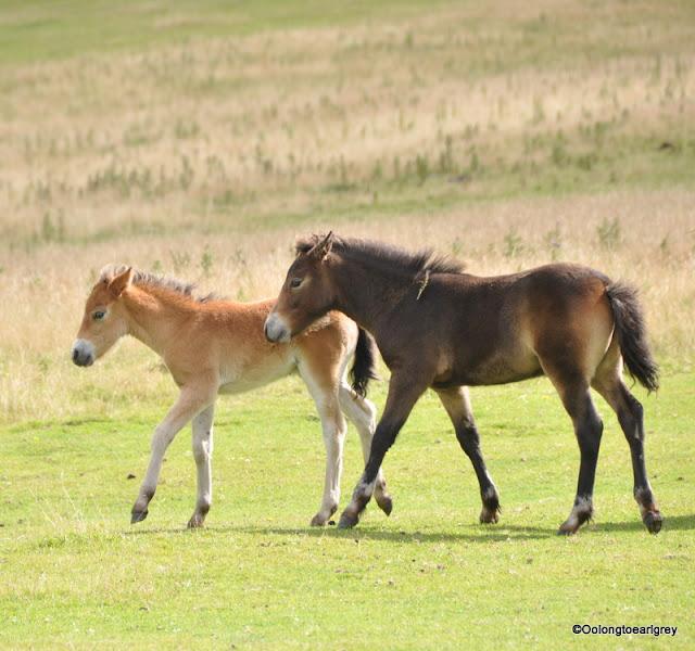 Wild Exmoor Ponies, Lynmouth, Devon, England
