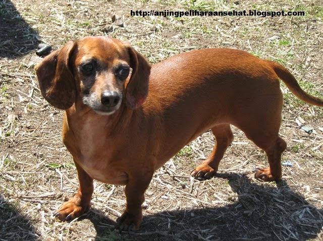 anjing jenis dachshund, anjing peliharaan, anjing peliharaan terbaik