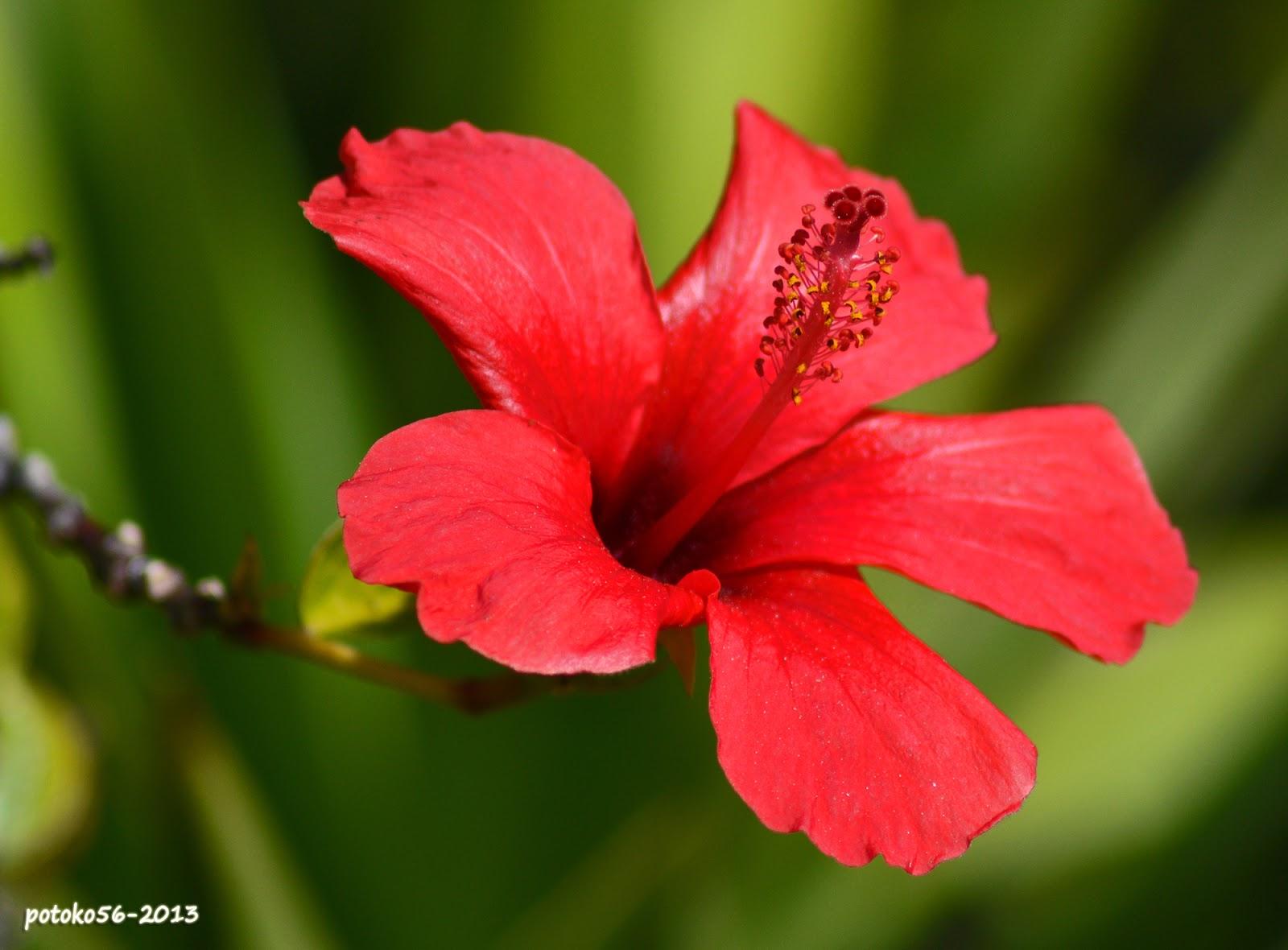 La flor de hibiscus macro