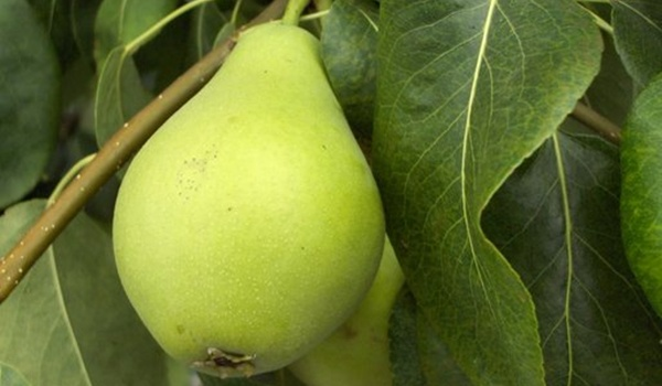 Qué significa soñar con fruta: Pera