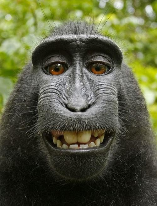 gambar monyet senyum - gambar monyet - gambar monyet senyum