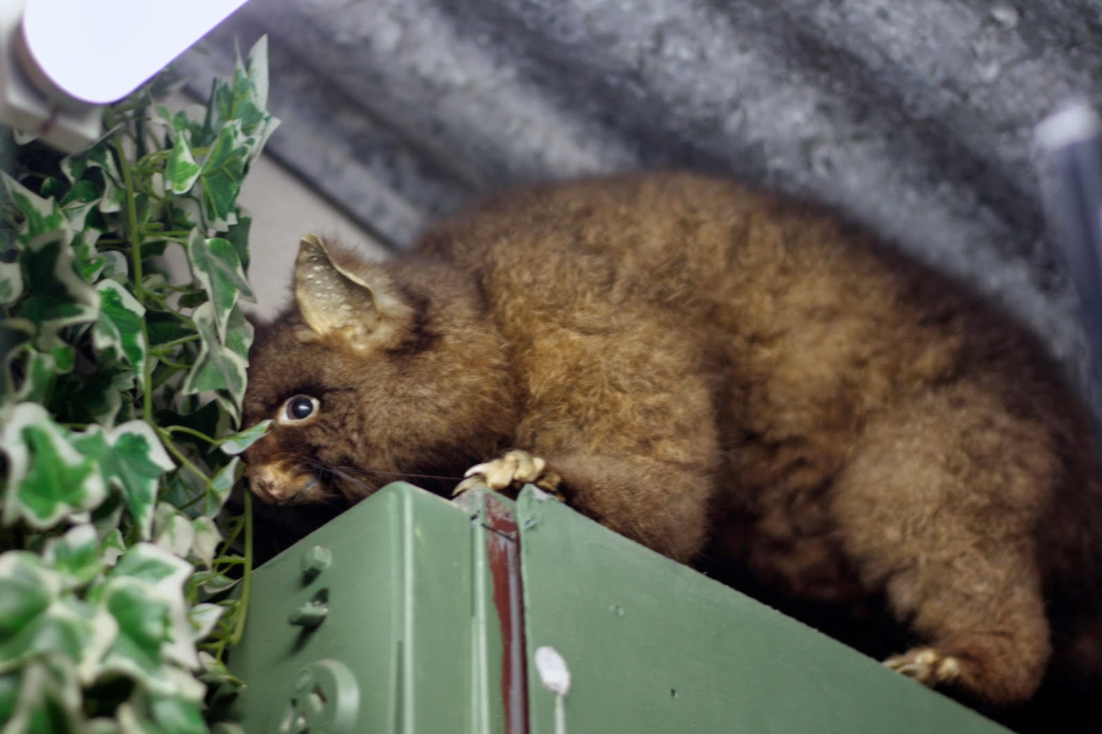 A taxidermied possum tries to hide on top of a switch box.