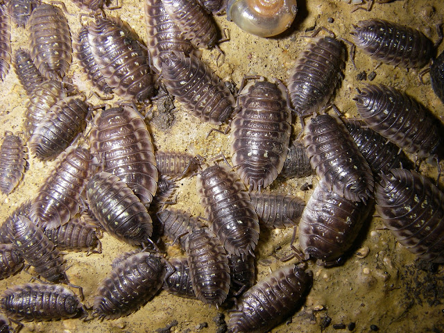 Food Pill Bugs Eat